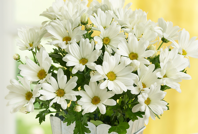 White daisies with yellow center in a pot