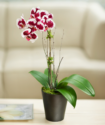 Orchid for Singapore