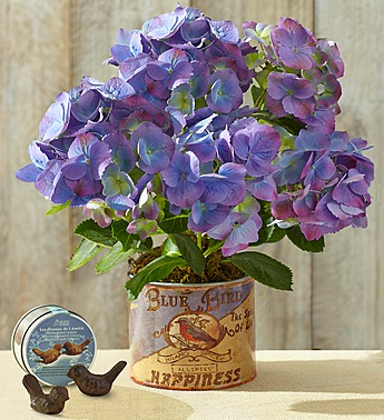 Purple and blue hydrangeas in a pot