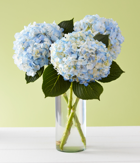 Blue hydrangea flowers in a vase