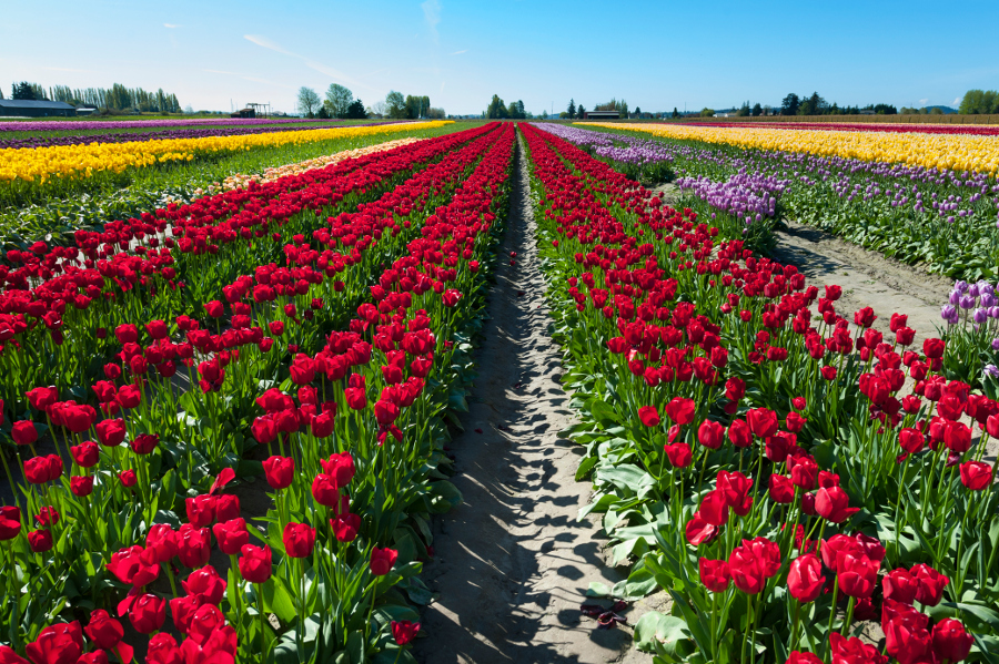 Tulip Festival- Fields of Tulips