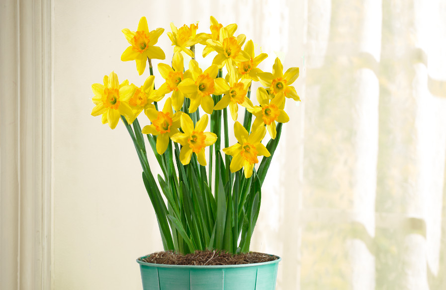 Yellow Daffodils in a Pot
