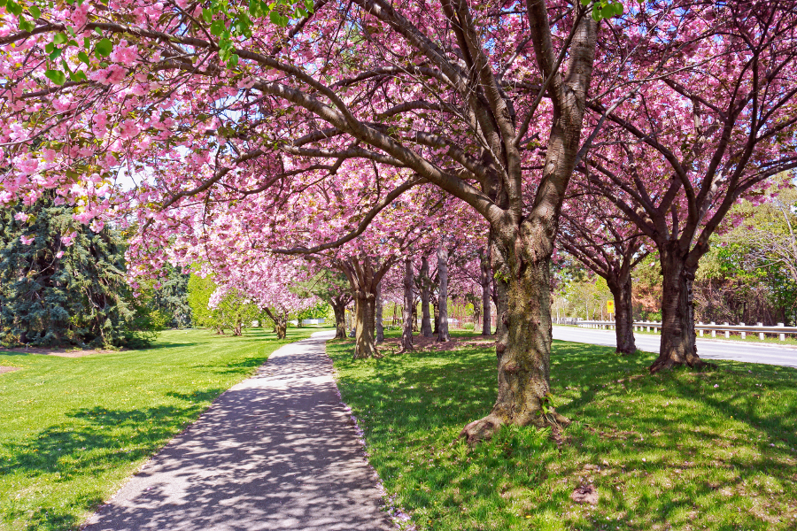 Blossoming cherry trees along foot path