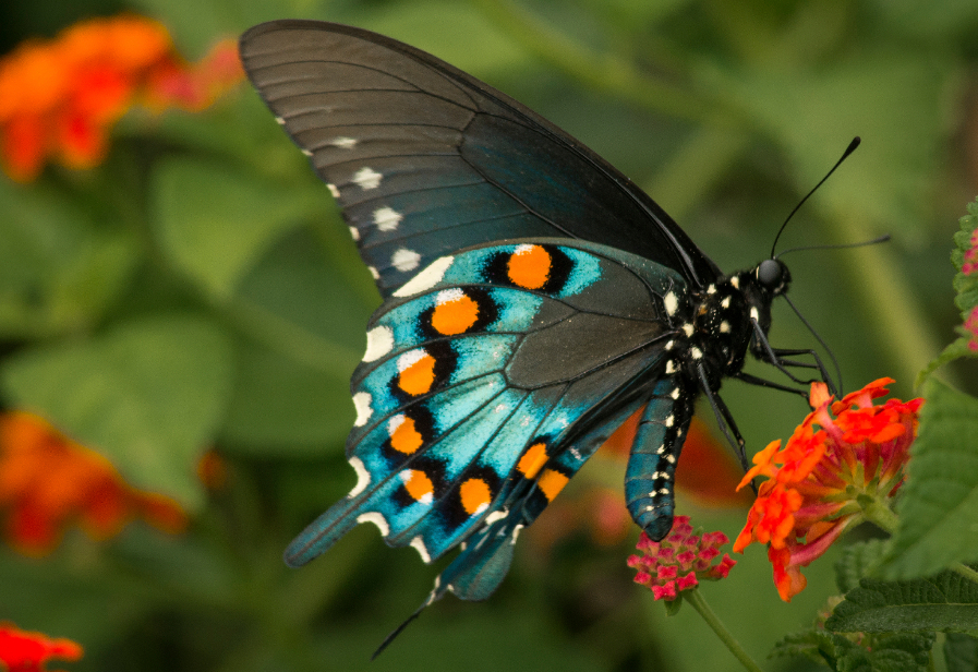 Colorful Blue, Orange & Black butterfly on a red-orange flower