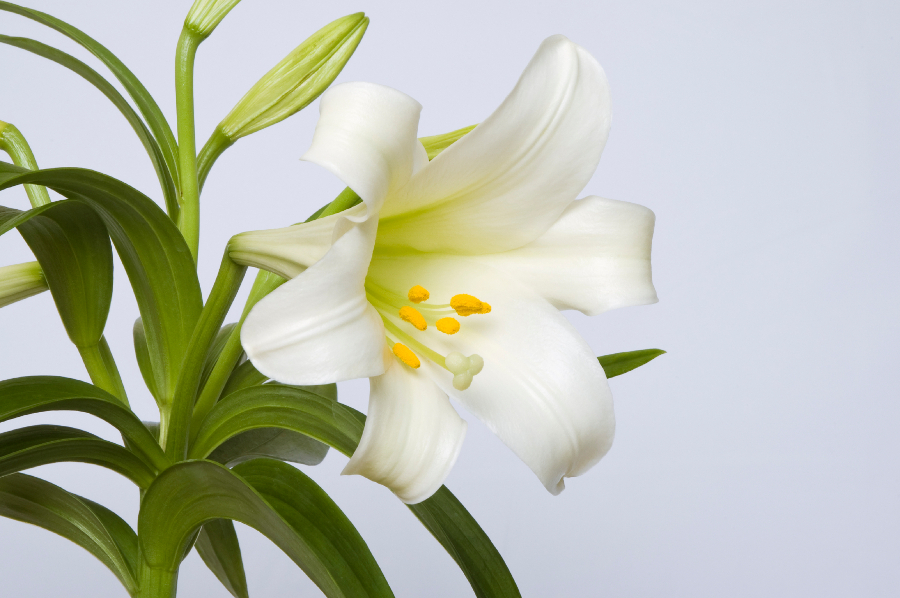 Easter Lily Flower Close-up