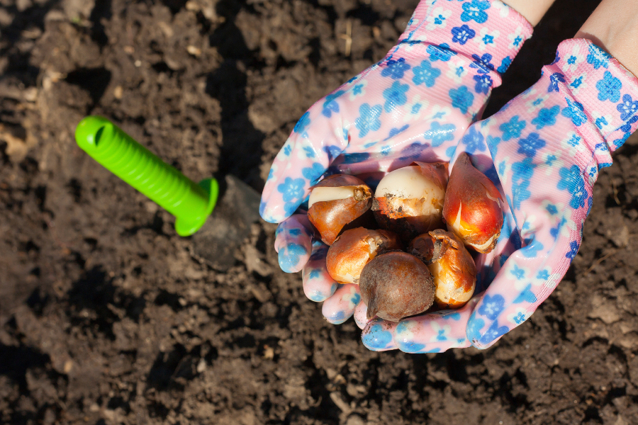 Gardening gloved hands holding tulip bulbs before planting in the ground