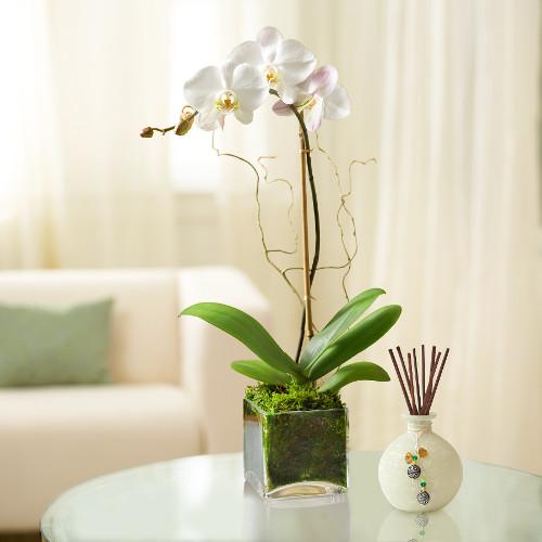 Elegant Orchid Plant White