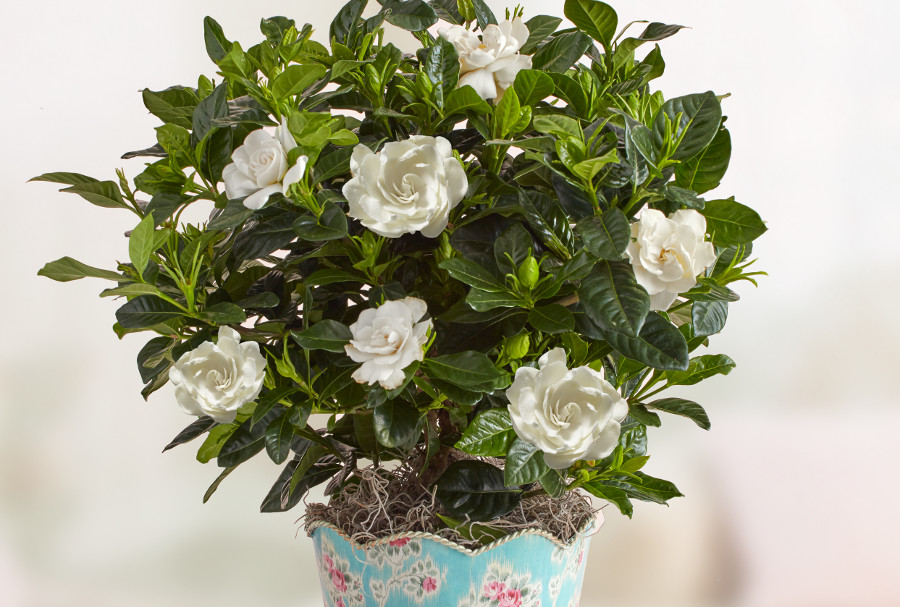graceful-gardenia-plant