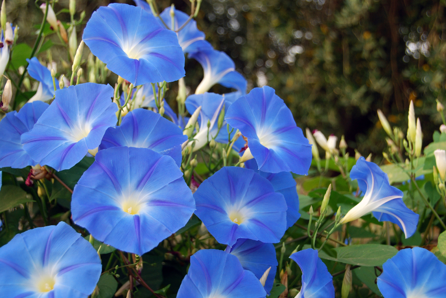 Morning Glory Blue Flowers