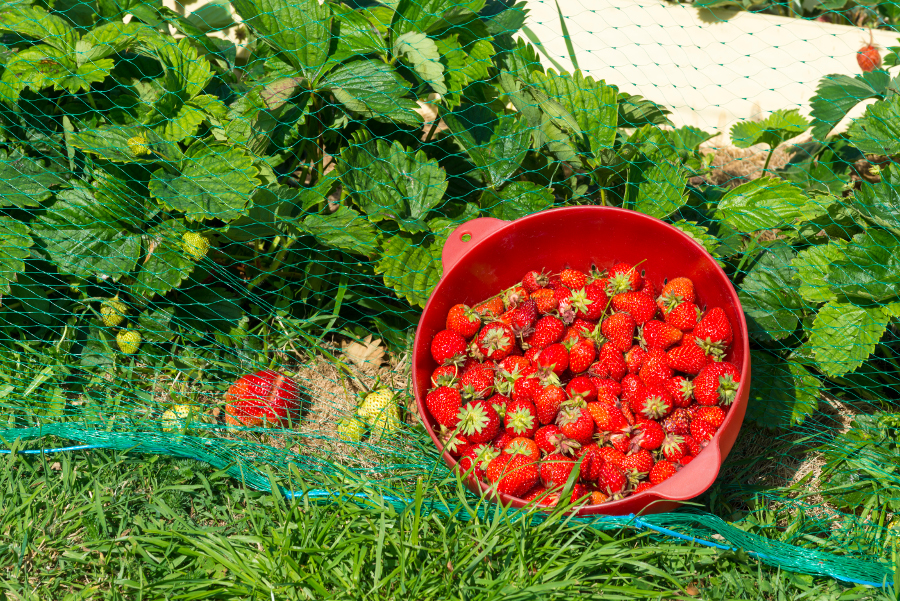 Net covering garden with bowl of strawberries