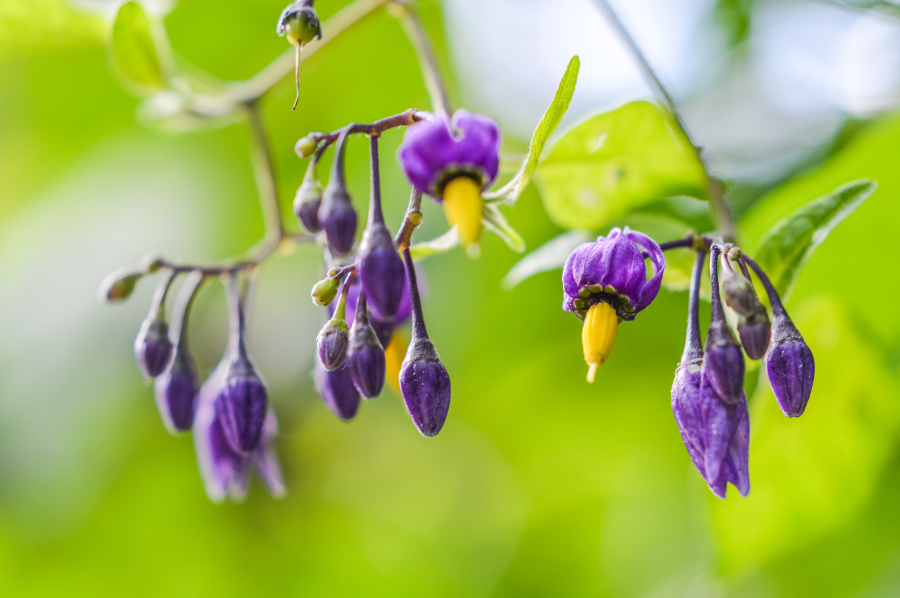 Nightshade Poisonous Plant Purple and yellow flowers