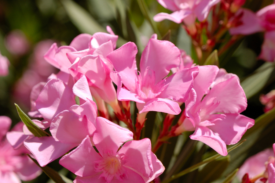 Oleander Poisonous Plant with Pink Flowers