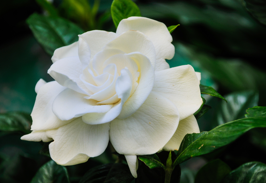 Gardenia care gardenia plants flower meaning petal talk white gardenia flower mightylinksfo