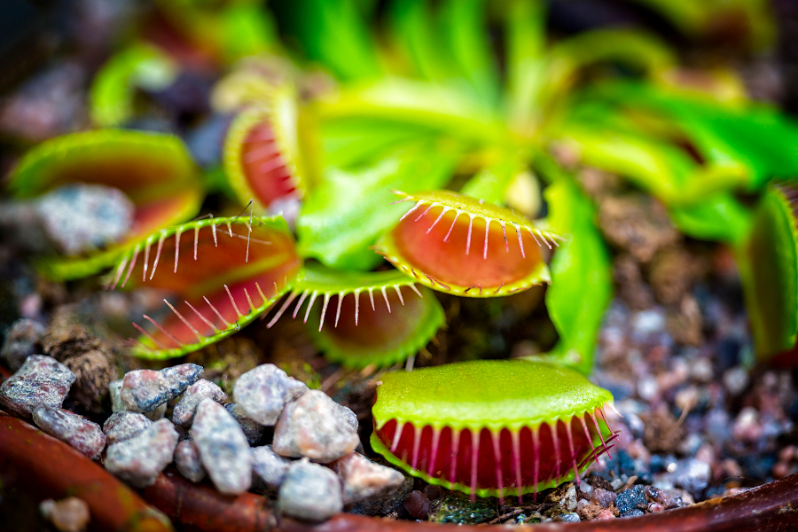 Carnivorous Plants- Venus Fly Trap