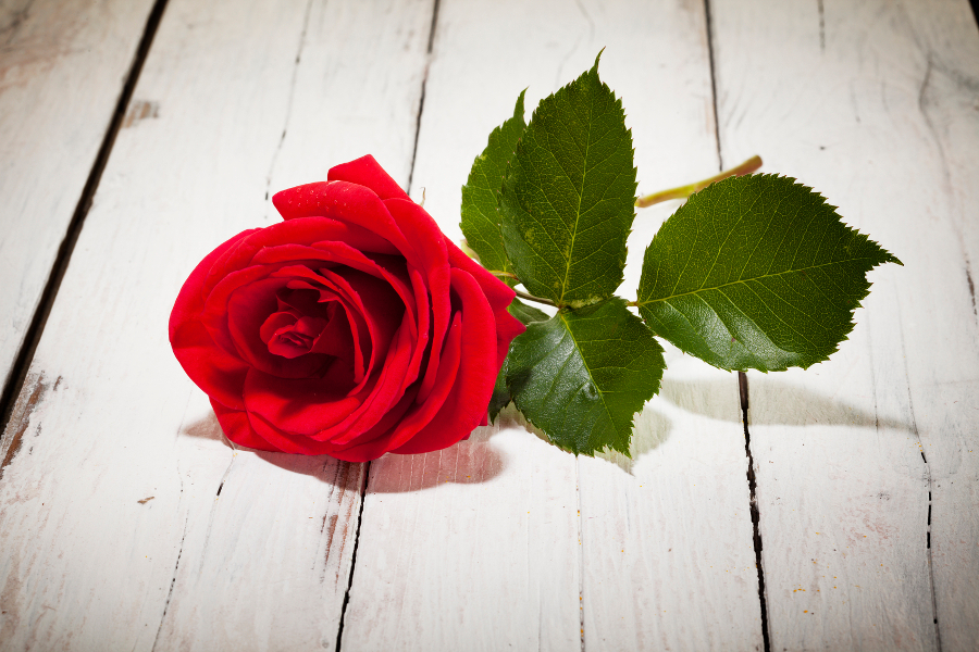 Single red rose on white wooden floor