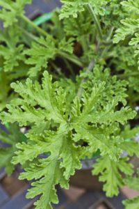 citronella winterianus