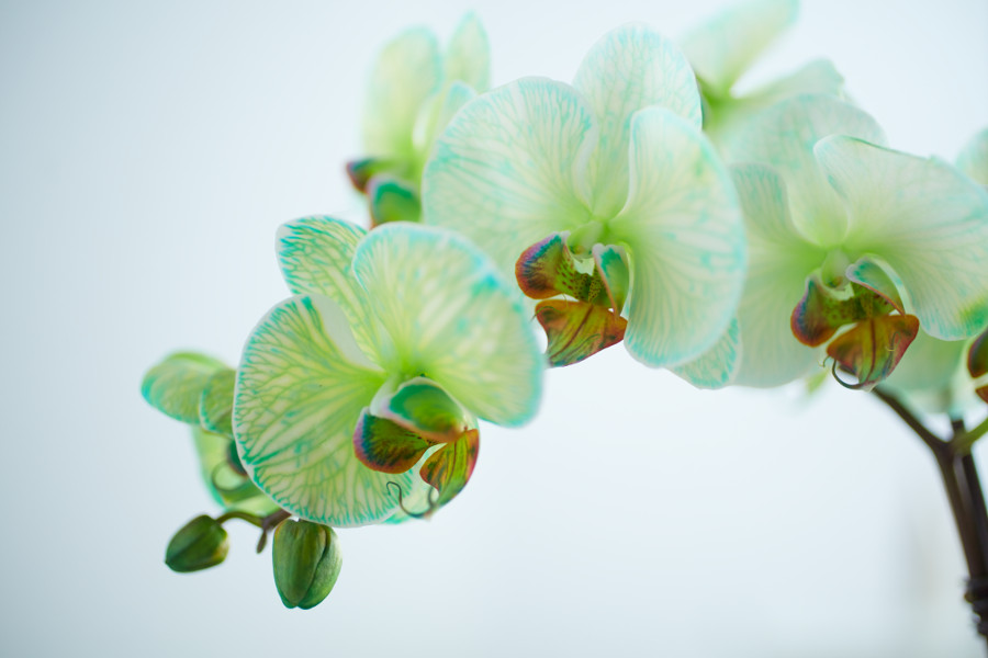 green-colored-orchid