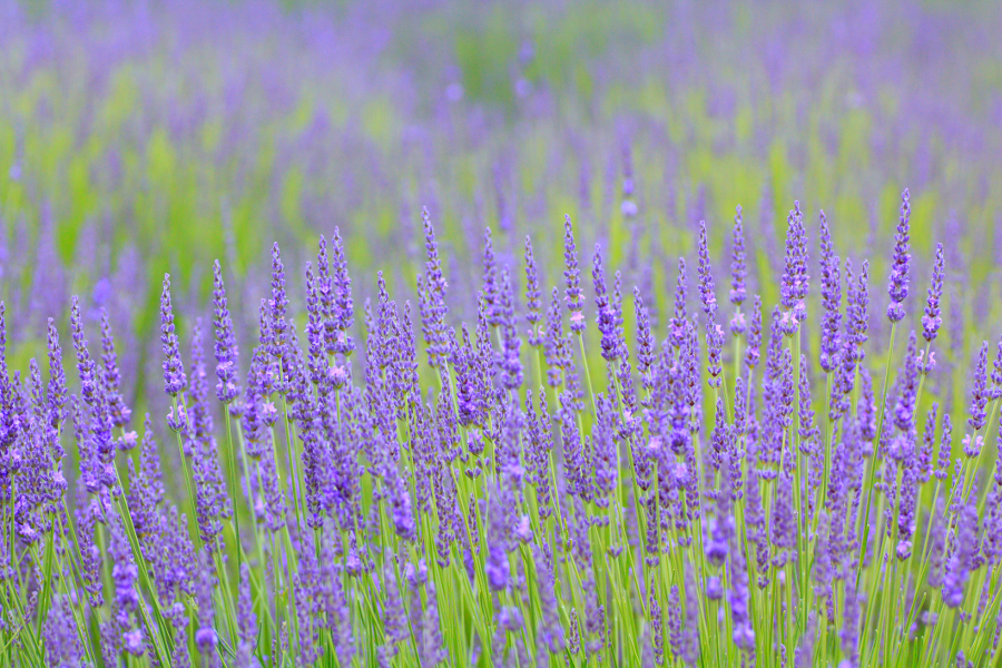 Lavender Plant Growing in Field