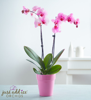 pink-painted-orchid