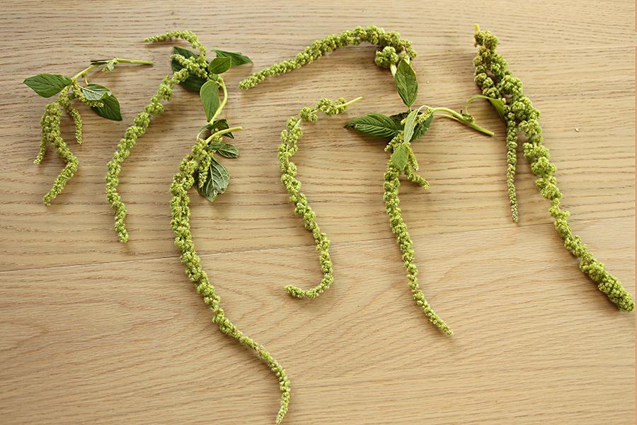 amaranthus-laterals