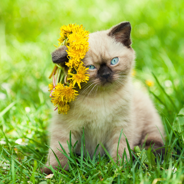 little kitten crowned chaplet from the dandelion flowers
