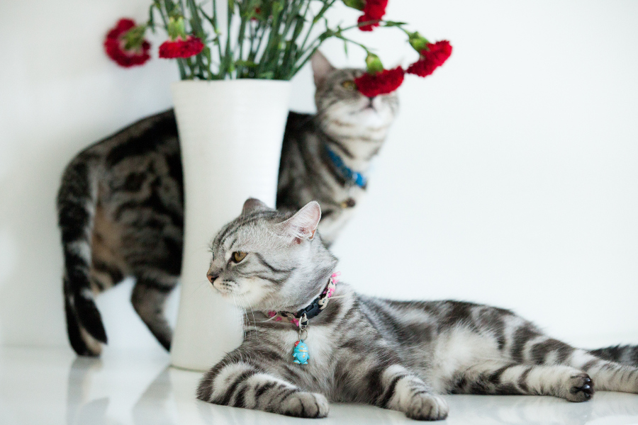 American shorthair cat with white background and red flower