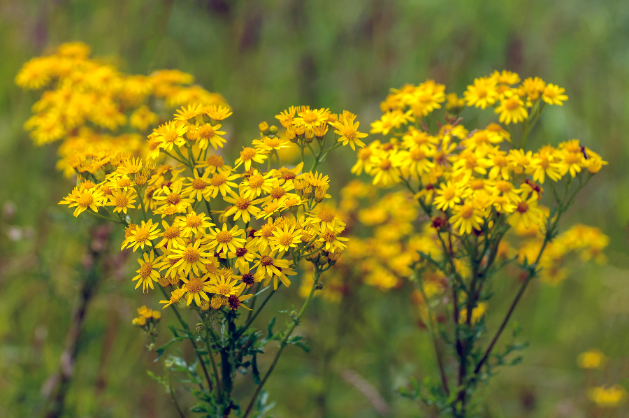 Yellow common ragworts