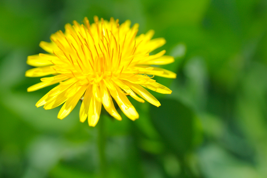 yellow dandelion close-up