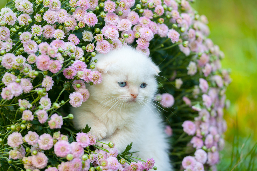 Cute cat pictures with flowers cats with flowers petal talk cute little white scottish fold kitten sitting in flower meadow mightylinksfo