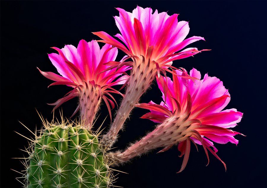 lady-evelyn-flowering-cacti