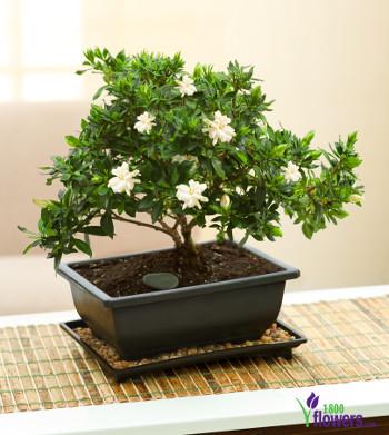 gardenia-bonsai