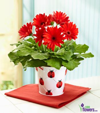 gerbera-daisy-plant