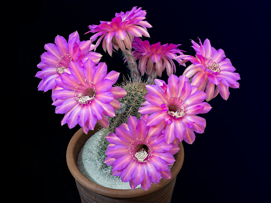 pink-open-echinopsis-flowers-cactus