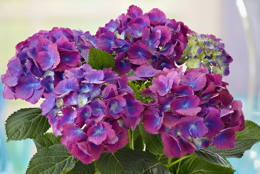 purple-blue-hydrangea