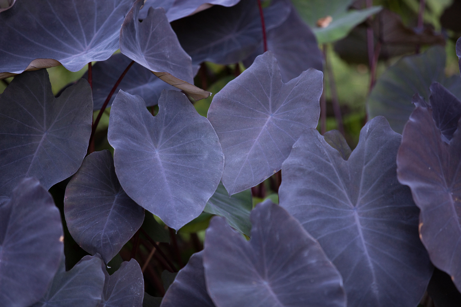 black-coral-elephant-ear
