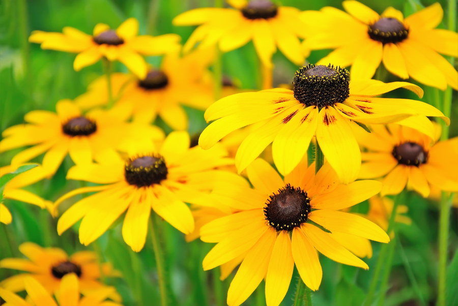 Yellow rudbeckia flower in the garden, focus on flower in front