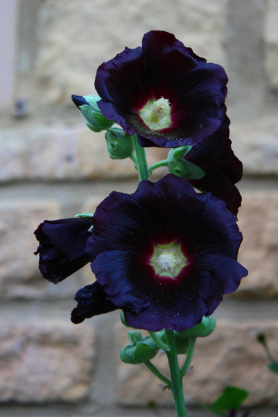 Beautiful dark black hollyhock flower