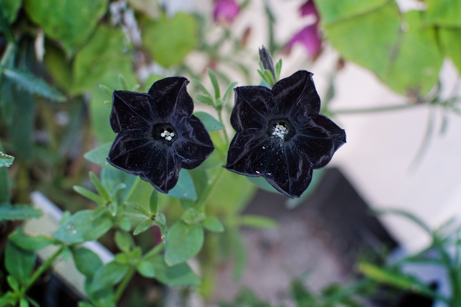 Black petunia flowers closeup, Sweden in October.