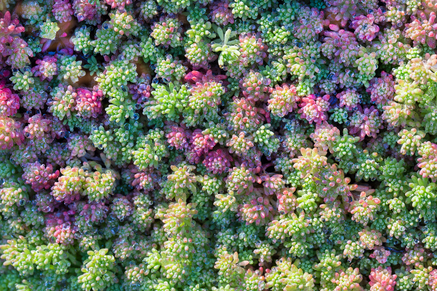 Red and green sedum autumn.