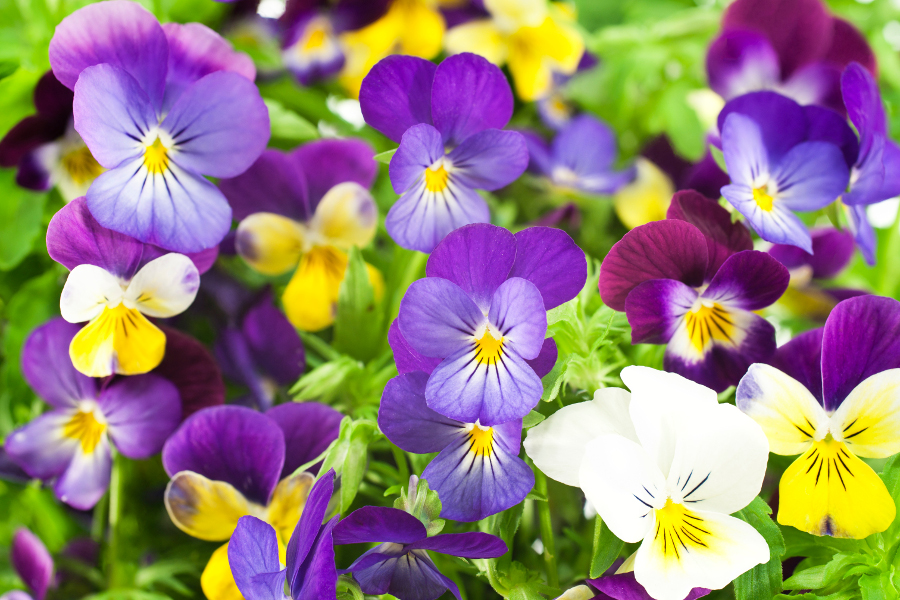 pansies-purple-white-yellow