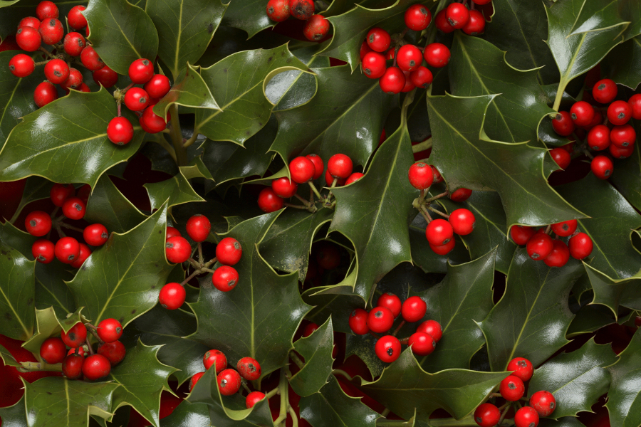 Types of Christmas Greens- Holly