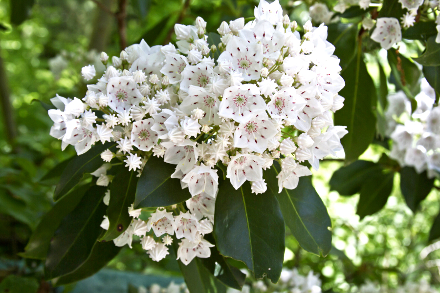 Types of Christmas Greens- Mountain Laurel