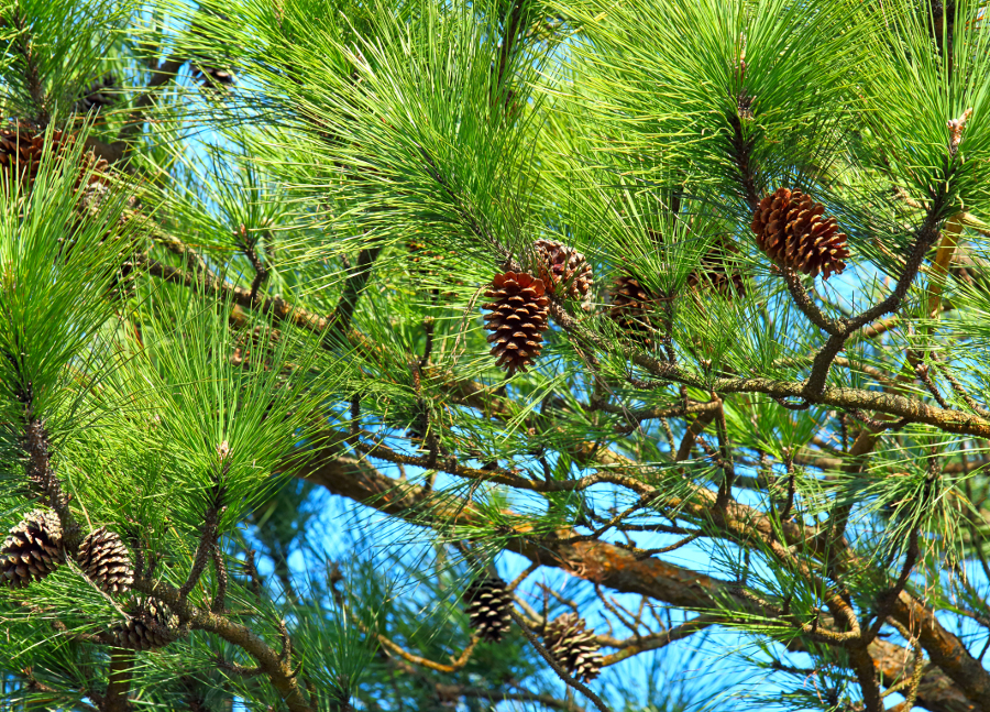 Types of Christmas Greens- Pine