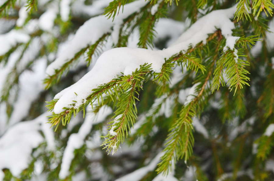 Types of Christmas Greens- Spruce