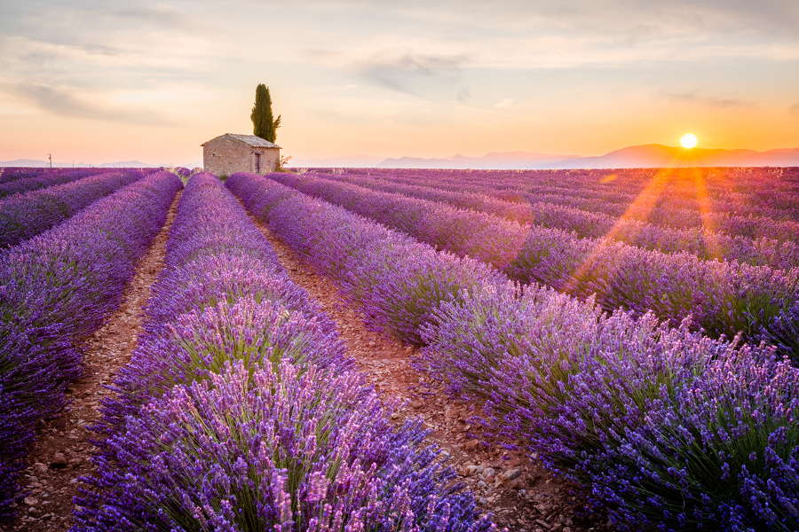 field-of-lavender