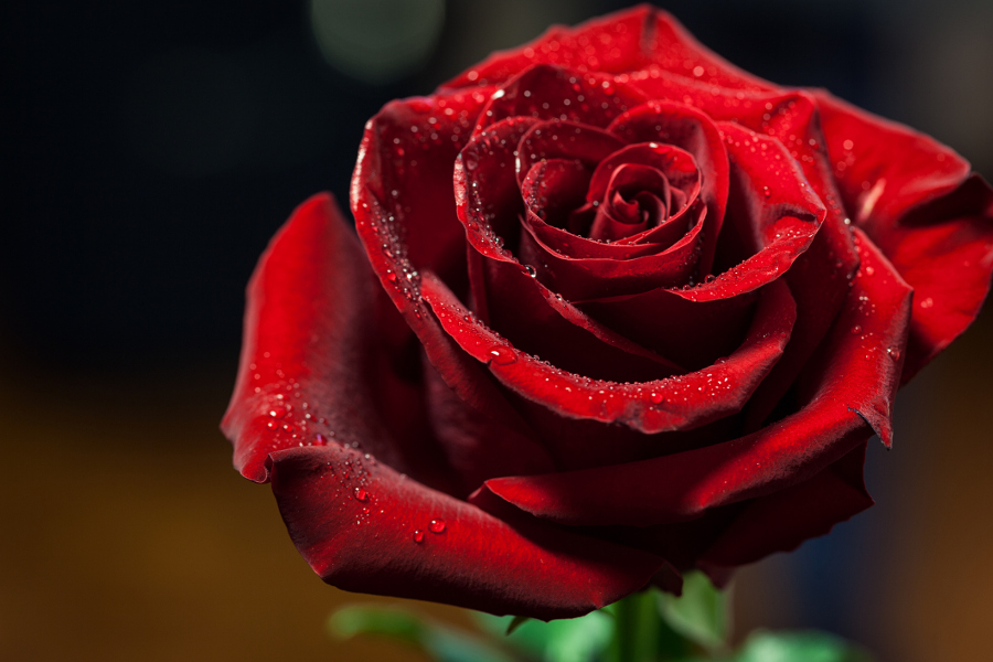Close Up of Red Rose with Water Drops