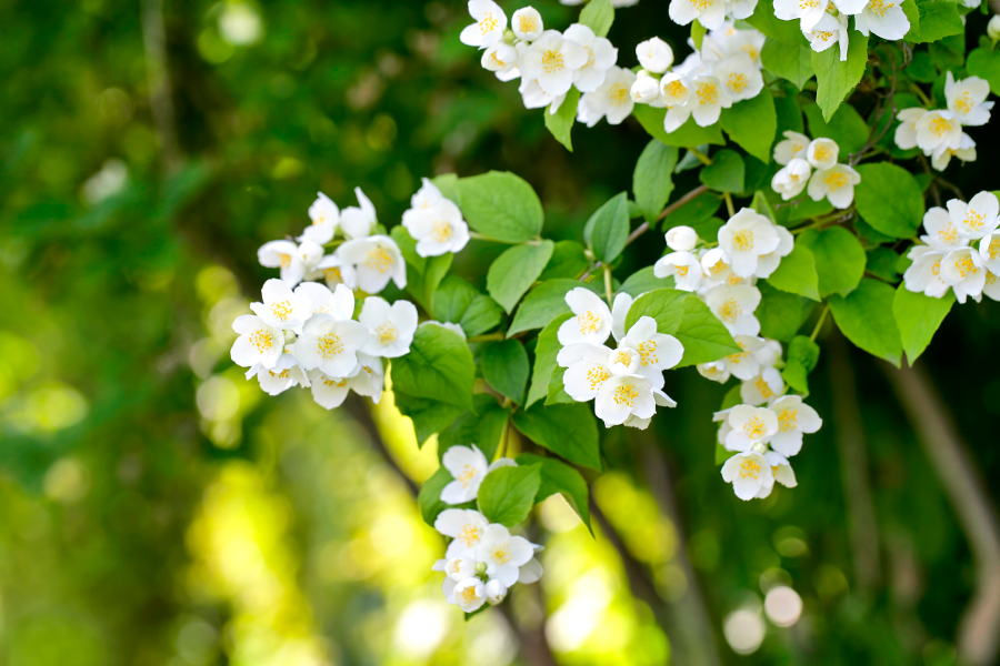 white jasmine flower blossoms