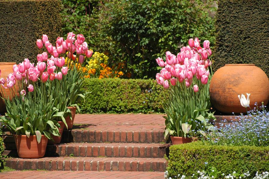 Tulip Container Garden