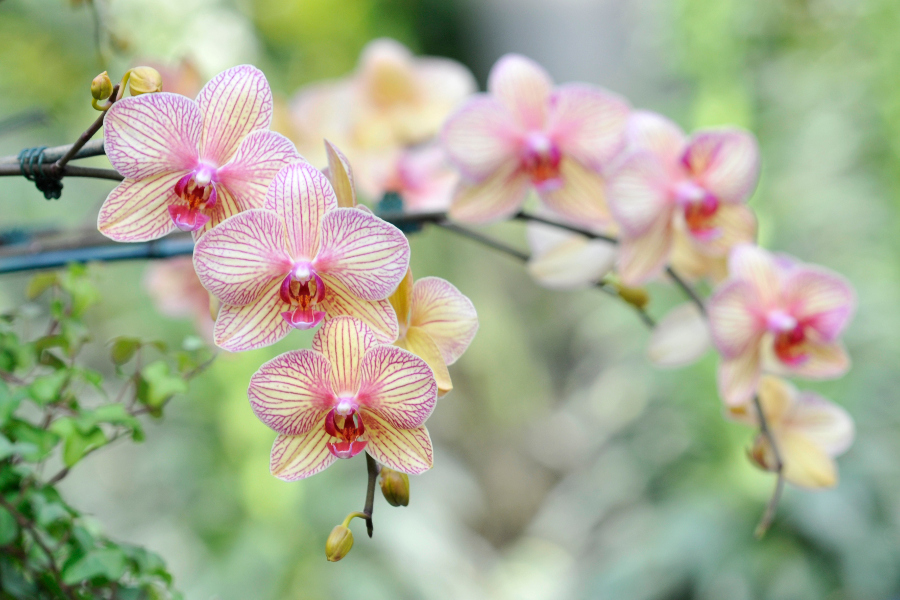best orchid shows  festivals in the u.s.  petal talk, Beautiful flower