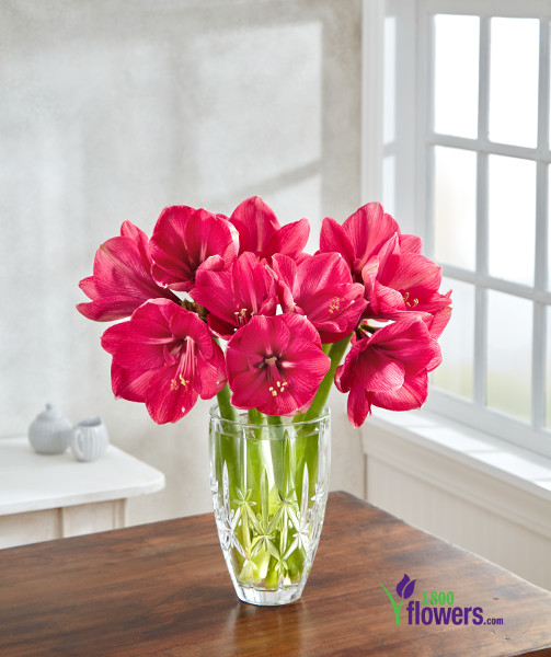 Hercules Amaryllis in a Vase